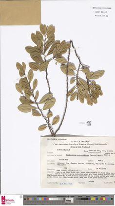 L.3784028 | Erythroxylum novogranatense (Morris) Hieron.