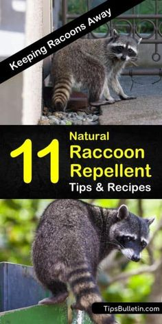 Discover how to make a natural raccoon repellent to keep unwanted animals out of your plants, yards, and gardens. Use these pest control methods to keep your home raccoon-free. Raccoon Repellent, Getting Rid Of Raccoons, Pest Management, Garden Guide, Garden Ideas, Backyard Ideas, Racoon, Raccoon Craft, Rocket Raccoon