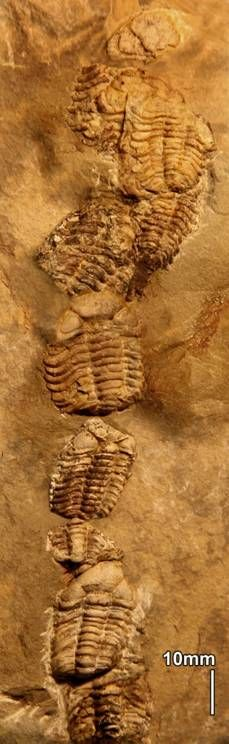 A chain of trilobites preserved in Poland's Holy Cross Mountains.