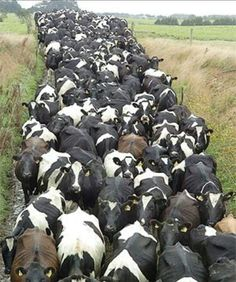 A dairy herd - spot some on their way to or from the milking sheds. . perhaps check with breed they are too.