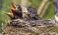 Amselnest - blackbird nest   Ein Nest mit 4 fast ausgewachse…   Flickr Blackbird, Bald Eagle, Anatomy, Owl, Birds, Animals, Woods, Guys, Animales
