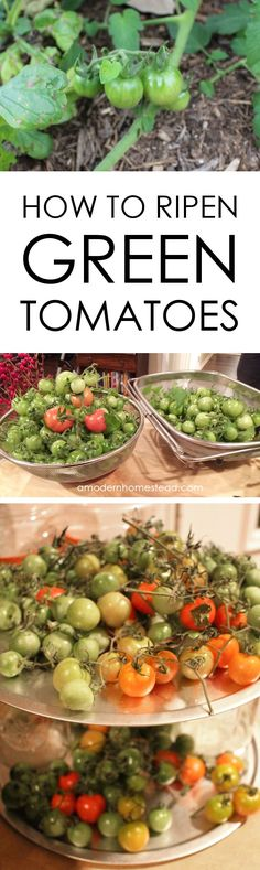 Did you know that you can pick green tomatoes from the vine and ripen them indoors? This may be needed to protect the fruit from animals or just something as simple as an early frost. Find out how easy it is to get gorgeous ripe tomatoes if you have to pi Ripen Green Tomatoes, Growing Tomatoes Indoors, Growing Tomatoes In Containers, Growing Vegetables, Dried Tomatoes, Vegetables Garden, Veggies, Cherry Tomatoes, Gardening For Beginners