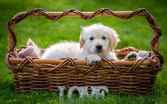 Herunterladen hintergrundbild retriever, welpe, kleiner hund, niedliche tiere, hund im korb, grün, gras