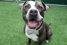 EMPIRE - 9522 - - Manhattan TO BE DESTROYED 10/23/17 A volunteer writes: Empire told me he's very confused, as everyone keeps saying to him, 'You're stunning', and he thought his name was Empire, but is it Stunning? What's a dog to do? I told him not to worry, as long as people are talking to him, that's a good thing! He is stunning, that's for sure, his coat clean and healthy, his weight perfect for his size, his eyes bright and s