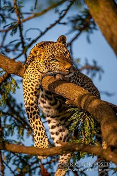 Fig the Leopard lounging up a tree in the Masai Mara, Kenya by Richard Costin