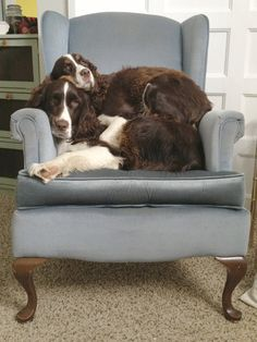 Got to be the most precious thing - how Springers love other dogs and even cats but especially other Spaniels.