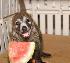 Baby Coatimundi-- THIS IS THE THING FROM MEXICO!!! FINALLY! I've been looking for a picture of this thing for years...