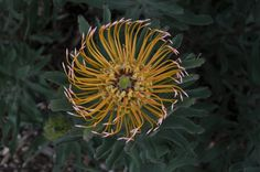 Leucospermum catherinae, (a. African Plants, Bette Davis, Plant Species, Spirals, Natural Wonders, Pin Cushions, Botany, Trees To Plant, Flower Power