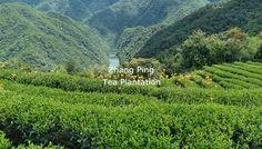Our Zhang Ping Shui xian tea garden located in Zhang Ping, Ying Lun village.
