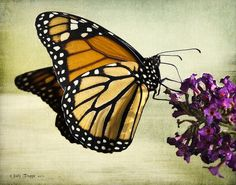 Monarch and flowers.