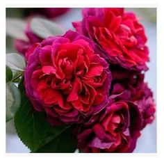 European Seed Month Rose Flower Seeds Seeds Spring Package* New Arrival Red Color Cheap Garden Supplies Plants