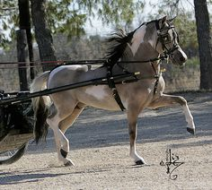 Rogers Heaven Sent Ranch | Quarter Horses | Miniature Horses | Stallions