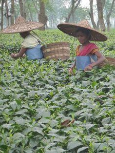 Trip to Darjeeling Tea Plantation | Fortnum & Mason