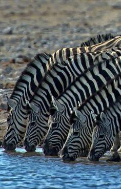 Safari-zebras