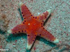 http://www.starfish.ch/Fotos/echinoderms-Stachelhauter/starfish-Seesterne/Neoferdina-insolita3.jpg