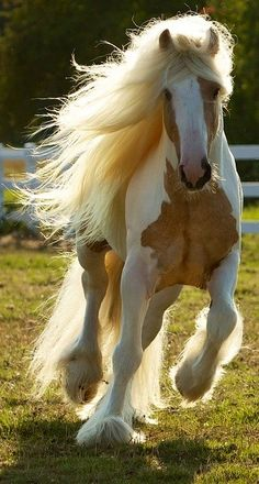 Pinto, Palomino tobiano Gypsy Horse... my dream horse right here! I will own one with in the next 7 years
