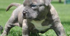Cập nhật nguồn gốc và đặc điểm giống chó Pitbull siêu ngầu