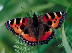 Milbert's Tortoiseshell (Fire-Rim Tortoiseshell) - Aglais milberti - This butterfly of the family Nymphalidae is the only species of its genus which occurs in North America. Its range extends throughout Canada, Alaska, the western and most of the eastern United States