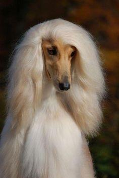 Glamour puss! #dogs #pets #AfghanHounds Facebook.com/sodoggonefunny