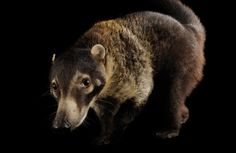 A white-nosed coati at the Fort Worth Zoo.