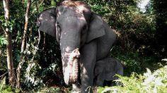La sorprendente mutación genética que sufren los elefantes del África por la caza furtiva Es el resultado de una reacción natural para proteger a la especie 8 de diciembre de 2016