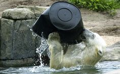 Urso polar brinca com balde no zoológico Blijdorp, em Rotterdam, na Holanda.