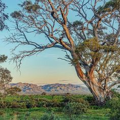 You don't need to travel far from Adelaide to experience the beauty of the Flinders Ranges. @solspeck snapped this spectacular shot at Spear Creek in the Southern Flinders Ranges, which is just a short drive from Port Augusta. Stay the night in the Spear Creek Caravan Park, which is nestled among 400-year-old river red gums on a working sheep station. #SeeSouthAustralia [ Location: 3.5 hours drive from #Adelaide in #SouthAustralia ] South Australia, Australia Travel, Terra Australis, Australia Landscape, Land Of Oz, Stay The Night, Toscana, Native American Art, Amazing Nature