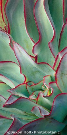 Petit Cabinet de Curiosites - (via Echeveria subrigida Succulents In Containers, Cacti And Succulents, Planting Succulents, Echeveria, Cool Plants, Air Plants, Succulent Gardening, Cactus Y Suculentas, Patterns In Nature