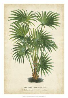 Palm of the Tropics IV Plakater af Horto Van Houtteano på AllPosters.dk