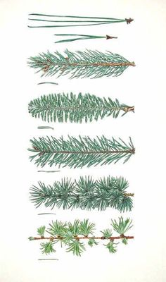 59 Ideas Evergreen Tree Illustration For 2019 Botanical Drawings, Botanical Illustration, Botanical Prints, Tree Illustration, Christmas Illustration, Theme Nature, Tree Identification, Evergreen Trees, Evergreen Tree Tattoo