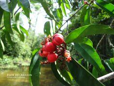 Flor do Ananin