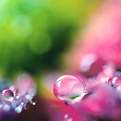 Fonds d'écran Nature > Fonds d'écran Eau - Gouttes, rosée Pink Lady. par andokadesbois - Hebus.com