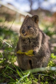 Quokka, Happy Animals, Animals Of The World, Im In Love, Kawaii, Australia, Bear, Gallery, Funny