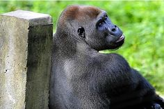 Ape Action Africa runs a sanctuary in Cameroon to care for primates injured or orphaned through the illegal bushmeat trade or being kept as pets. It also educates locals about conservation.