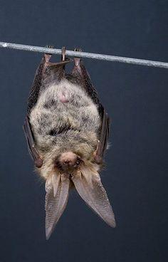 Just hanging around. ~ETS #bats