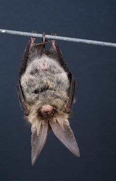 Just hanging around. ~ETS #bats