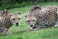 Cincinnati Zoo & Botanical Garden  ...  African Cheetahs ... Brothers Bravo & Chance