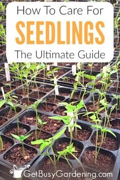 Growing seedlings indoors doesnt have to be hard Learn everything you need to know about how to grow strong healthy plants for your gardens in this ultimate seedling care. When To Transplant Seedlings, Growing Seedlings, Growing Herbs, Garden Seeds, Garden Plants, Veg Garden, Garden Soil, Garden Boxes, Starting Seeds Indoors