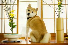 Shiba Inu information including pictures, training, behavior, and care of Shiba Inu and dog breed mixes. Meet this gorgeous and adaptable breed! Top Dog Breeds, Cute Dogs Breeds, Siberian Husky Puppies, Dalmatian Dogs, Siberian Huskies, Pet Dogs, Dogs And Puppies, Corgi Puppies, Weiner Dogs
