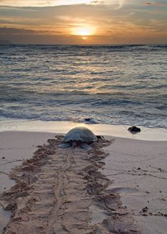 Going Home via adobeashram #Sea_Turtle