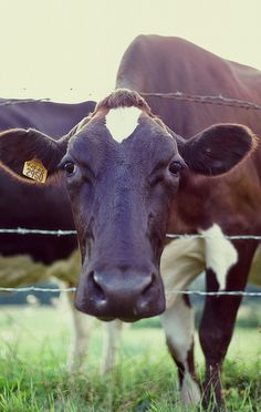 Holstein cow saying hello. Country Farm, Country Life, Animals Beautiful, Beautiful Creatures, Farm Animals, Cute Animals, Sweet Cow, Cute Cows, Old Farm