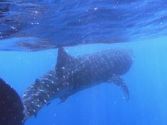 Pink Pangea Feature: Swimming with Whale Sharks Shark In The Ocean, Swimming With Whale Sharks, Gulf Of Mexico, Caribbean Sea, Adventure, Animals, Animales, Animaux, Animal