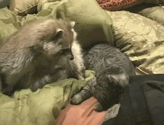 Banjo The Raccoon Is Really In Love With This Grumpy Cat http://www.buzzfeed.com/mattbellassai/banjo-the-raccoon-is-really-in-love-with-this-grum-6z51