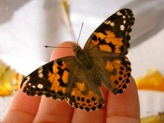 How to raise butterflies to lay eggs and start the cycle all over again. Raise generations of butterflies all summer long.  #scienceforkids #learningathome