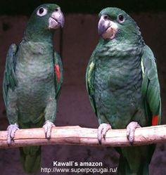Kawall's Amazon