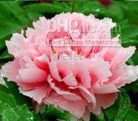 sementes rosa peônia china national flor de boas-vindas para licitar para licitar