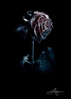Frozen Rose by Stridsberg.deviantart.com