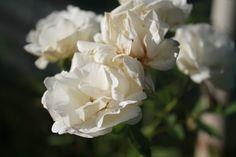 #Ph~ whiterose #RA