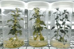 Tissue culture, or micro-propagation, is a high-tech tool for the rapid multiplication of plant material. However, it is no longer primarily the domain of commercial labs with expensive equipment. Basic tissue culture is.