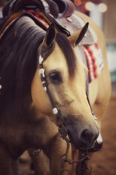 Hollywood Starburst (Hollywood Dun It x Chic Olena Starbuck), Quarter Horse Mare